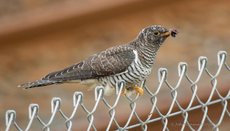 008-Newcastle-Cuckoo-©-2016-John-Coveney