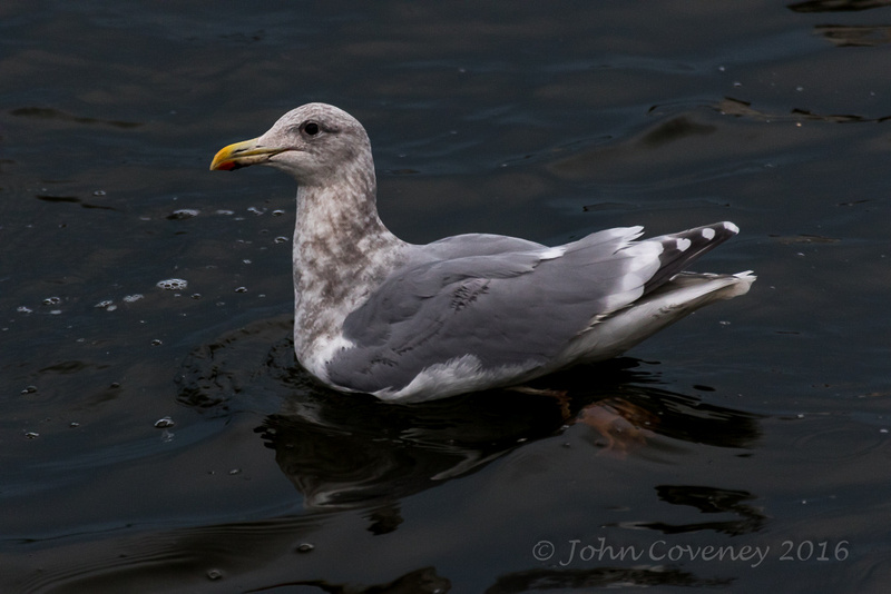 001-Glaoucous-Winged Gull © John Coveney2016
