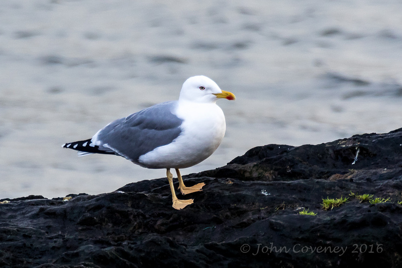 011-Glaoucous-Winged Gull © John Coveney2016