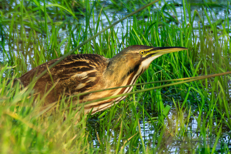 American Bittern © John Coveney2015 (2 of 3)