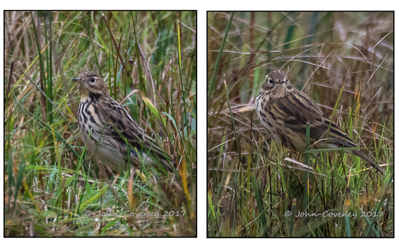Red-Throated-and-Meadow-Pipit-LR